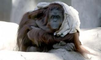La orangutana Sandra, en el zoo de Buenos Aires, en mayo. / Juan Mabromata (AFP)
