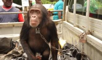 Chimpancé capturado para su explotación. Foto: Proyecto Gran Simio